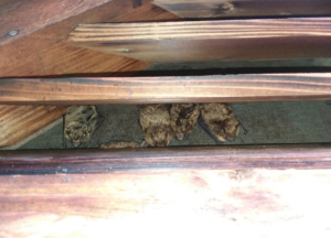 Bats in a gable vent - Cincinnati, OH