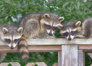Raccoons on a deck