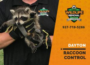 raccoon control dayton
