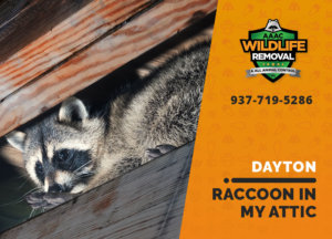 raccoon stuck in attic dayton