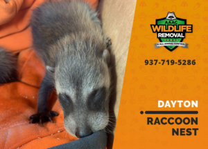raccoon nest in attic dayton