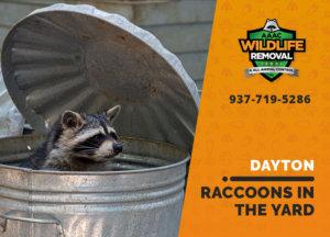 raccoons in my yard dayton