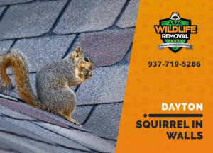 squirrel in the wall dayton