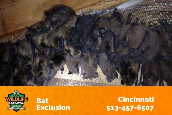 Bats Captured Through Bat Exclusion
