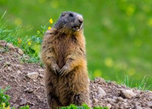 Groundhog on a ground