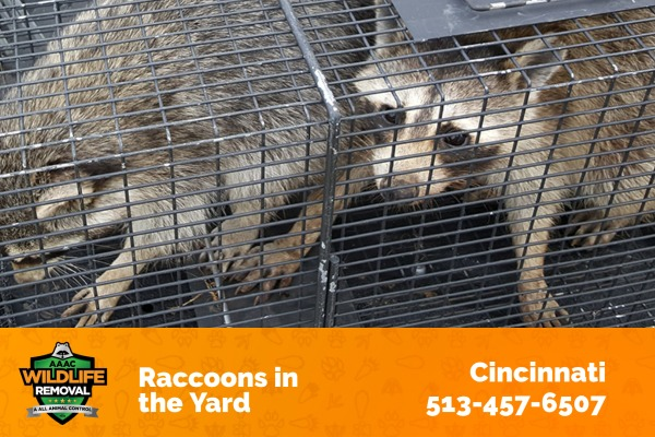 Raccoons Caught in the Yard