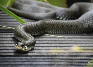 Snake in a yard
