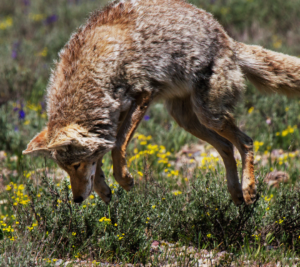 Coyote in a field