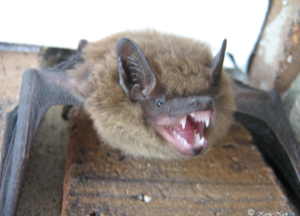 A harassed-looking bat in a Greensboro home