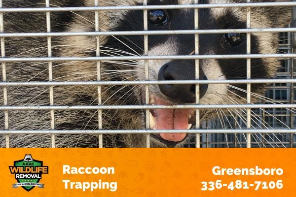 Raccoon Inside a Trap
