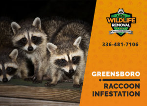 infested by raccoons greensboro