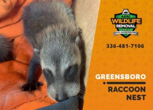 raccoon nest in attic greensboro