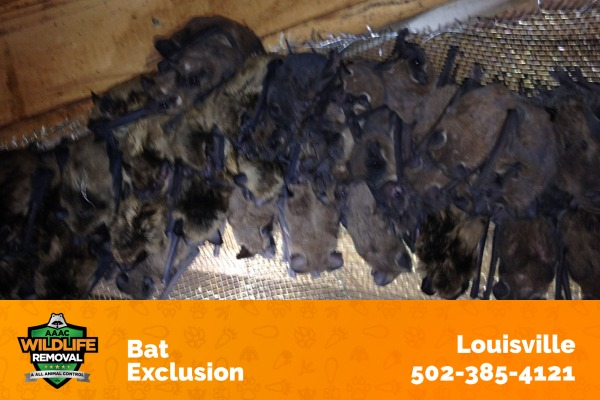 Bats Caught in a Bat Exclusion Procedure