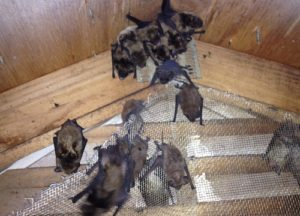 Group of bats trapped in an attic in Louisville