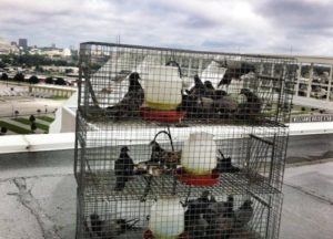 Group of birds trapped in three separate cages