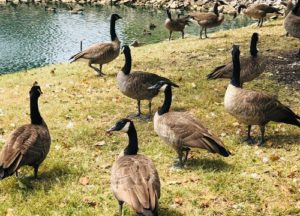 Geese standing near the pond