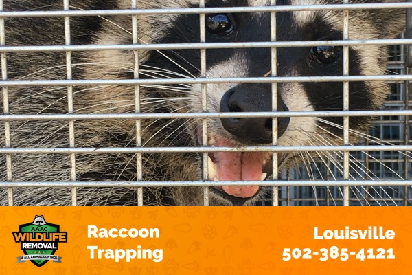 Raccoon Caught in a Trap