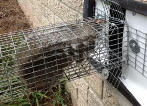Squirrel caught in a trap in Louisville