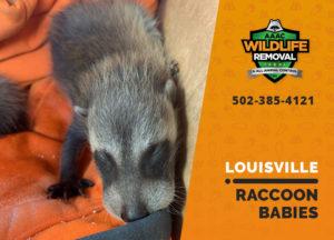 Louisville raccoon babies
