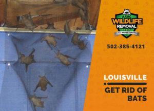 Louisville Get rid of bats