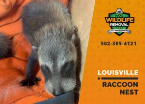 Louisville raccoon nest