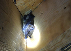 Bat hanging upside down in the corner of an attic