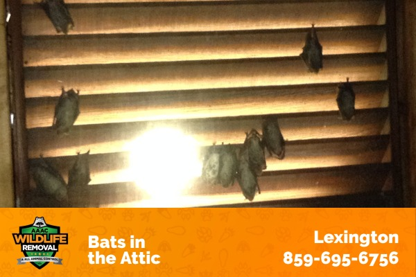 Bats Hiding in an Attic