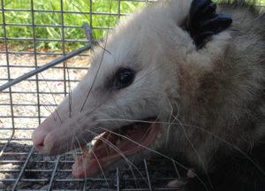 Opossum inside a cage