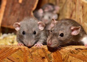 Wyandotte Wildlife Removal professional removing pest animal