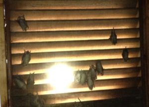 Bats trapped in an attic in Central KY