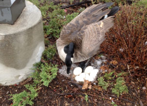 Goose found with its 6 eggs in the garden