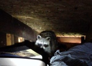 Raccoon trapped in an attic