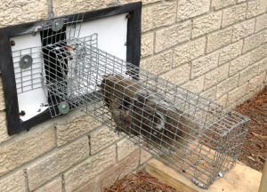 Squirrel caught in a trap