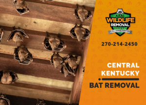 bat exclusion in central ky