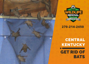 get rid of bats central ky