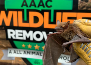 Bat removed from an attic in front of AAAC truck