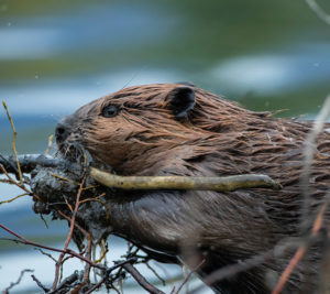 Beaver chewing on a stick
