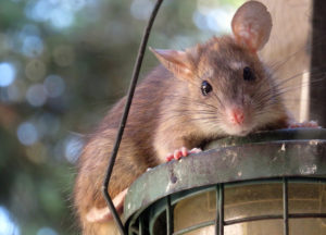 Mouse caught in the client's house