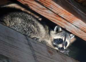 raccoon trapped in the attic