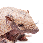 Armadillo on a white background
