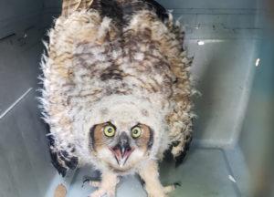 Owl in a transport bin