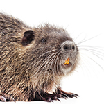 Nutria on a white background