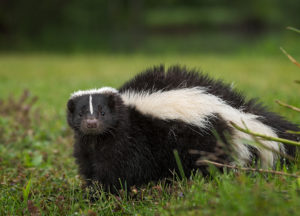 Skunk walking through a grass field