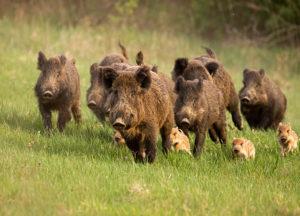 Group of Wild Hogs running through the grass field