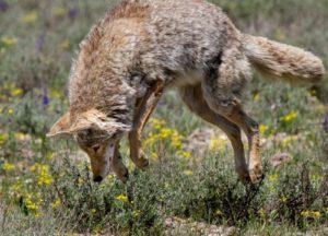 Coyote in the garden