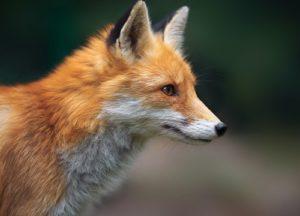 Fox looking at something