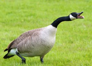Goose running in the lawn