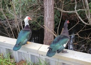 Pair of Muscovy Ducks standing over water