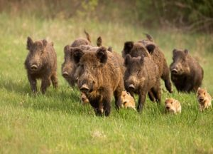 Group of Wild Hogs running in the field