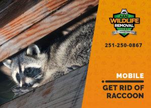 get rid of raccoon mobile